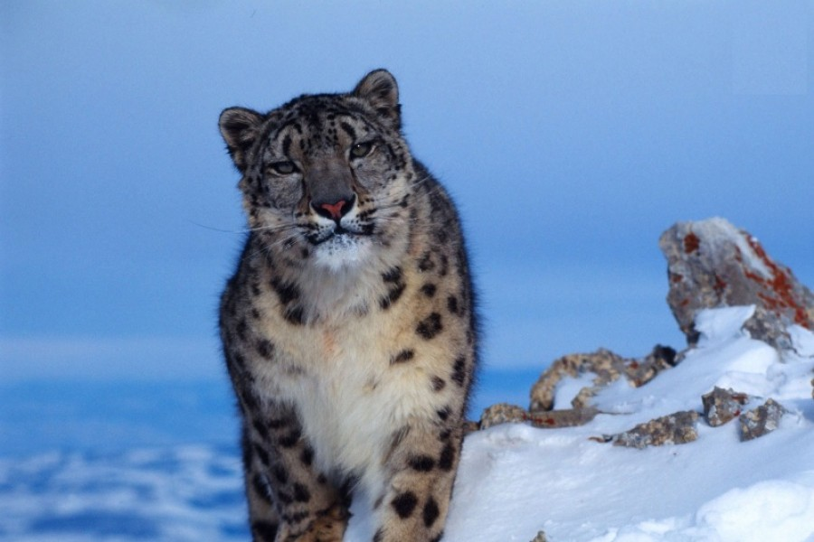 Snow Leopards Photographed in Uzbekistan