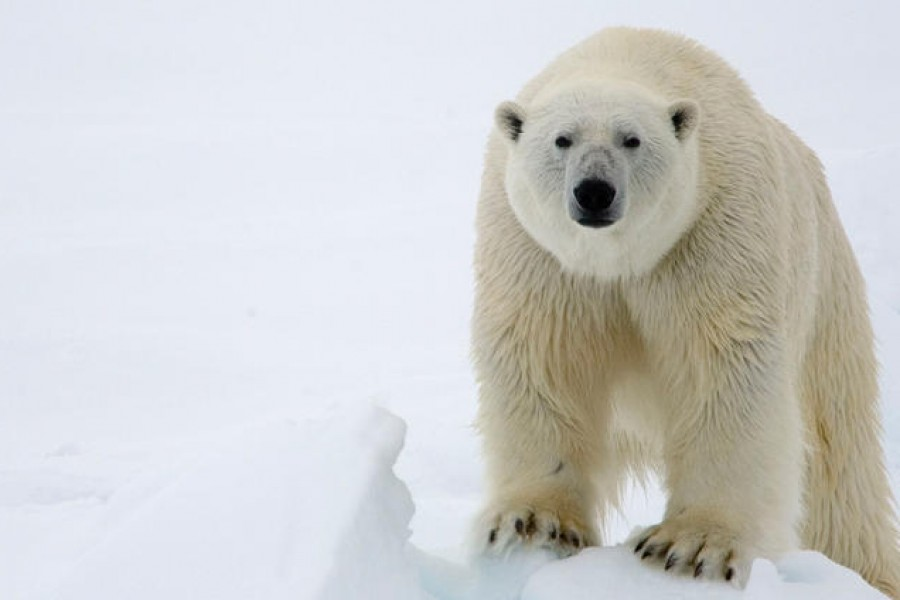 Polar Bear Management and Policy