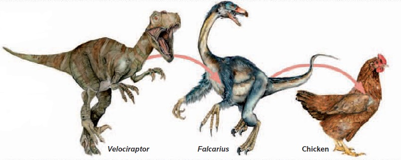 Is Chicken, a Feathered dinosaur?