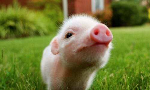 European fears of the spread of a new virus that affects pig