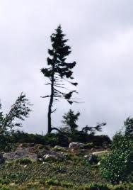 Tjikko tree